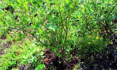 Куст голубики во время плодоношения