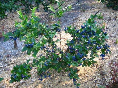 Куст высокорослой голубики с ягодами