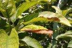 Листы яблони, поражённые хлорозом