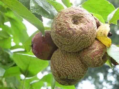 Монилиоз на яблоках