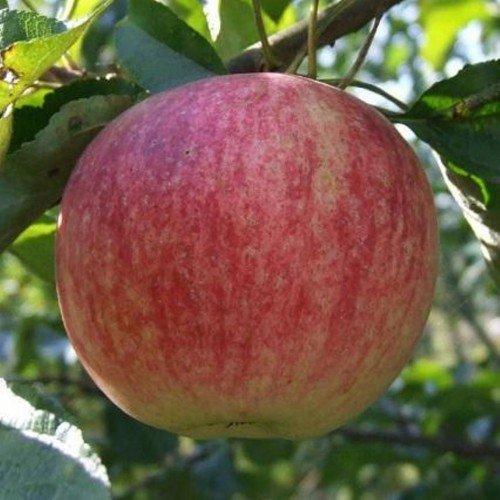 Наливное яблоко сорта Коричное полосатое