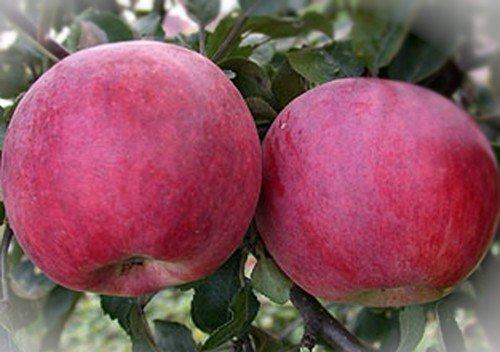 плоды сорта Красное раннее