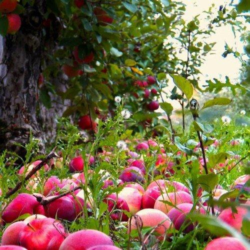 спелые яблоки на земле