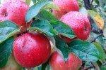 яблоки Память воину