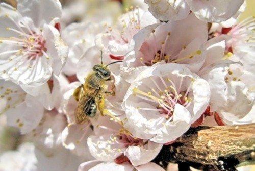 Пчела на абрикосе