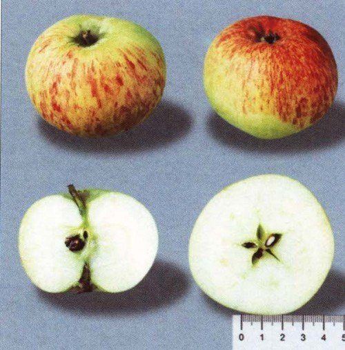 Плод яблока сорта Коричное полосатое