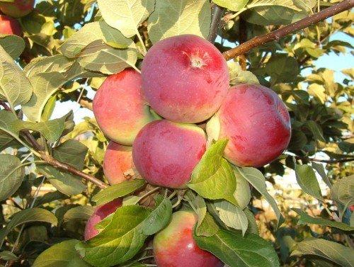 Плоды сорта Орлик