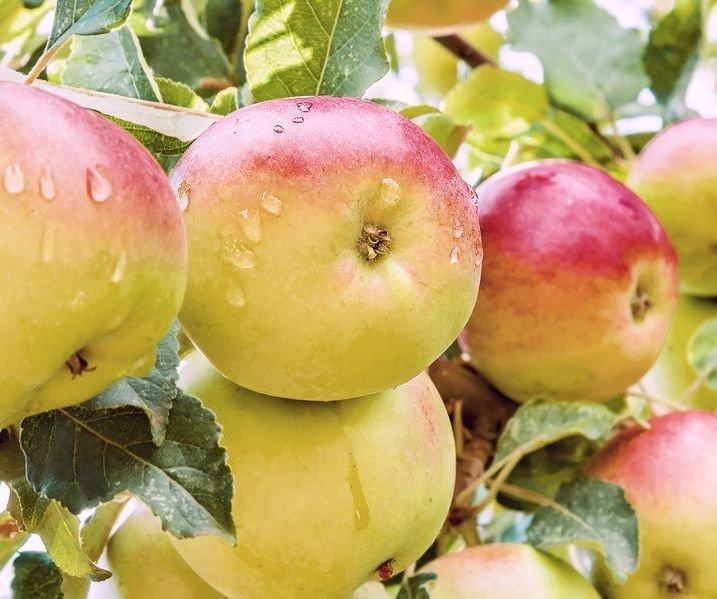 его сорта ранних сладких яблонь фото что ситуации аэропорту