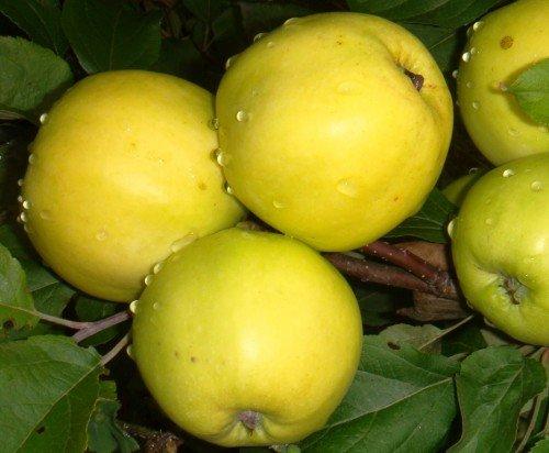 Плоды яблони Чудное
