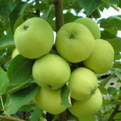 Плоды яблони Папировка во время созревания