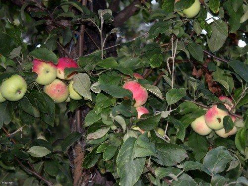 Подвязка плодоносящих ветвей яблони