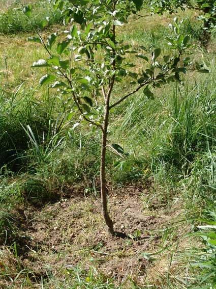 Саженец яблони в период вегетации