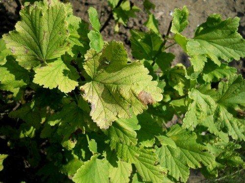 Септориоз на листьях крыжовника