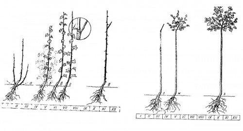 Схема обрезки штамбового крыжовника