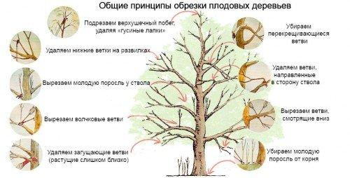 схема по обрезке деревьев