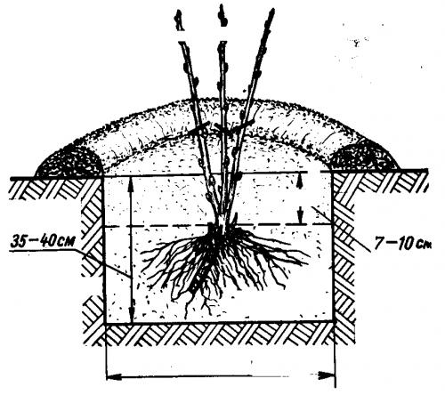 Схема посадки куста крыжовника