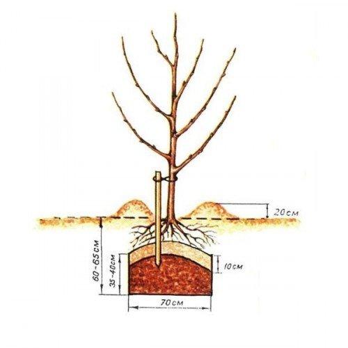 Схема посадки саженца яблони