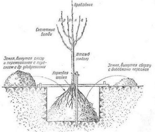 Как посадить яблоню весной пошаговое руководство и описанием