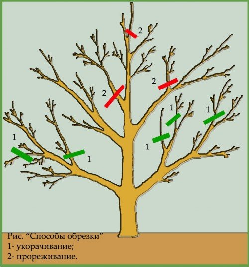 Схема весенней обрезки яблони