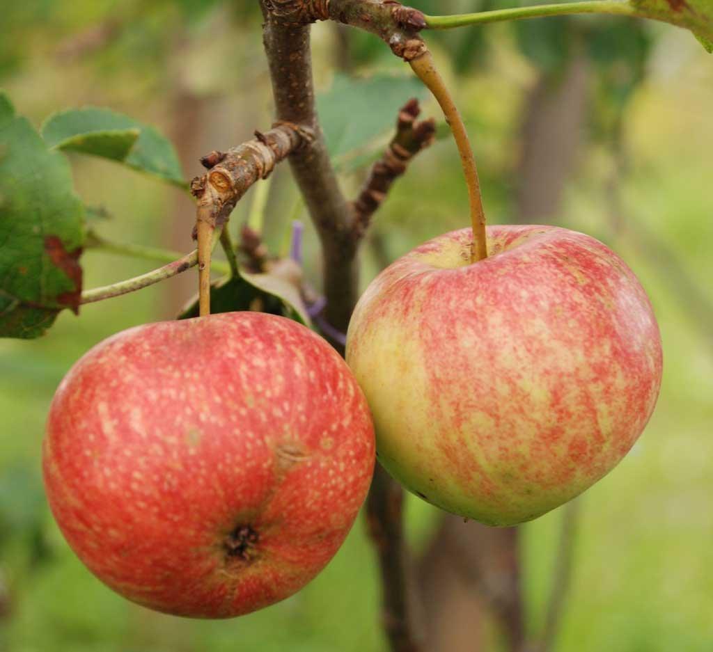 Яблоня Орлинка — описание сорта, фото, отзывы садоводов Посадка и уход