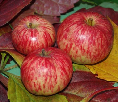 Сорванные яблоки с листьями на столе