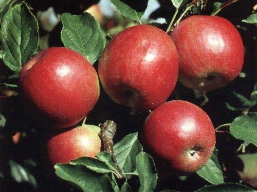 Созревшие яблоки на ветвях