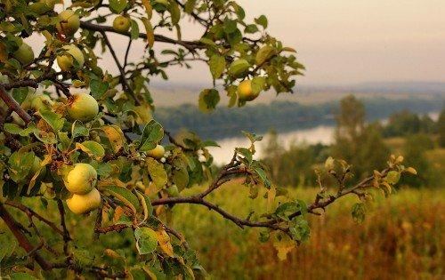 Старая яблоня с плодами