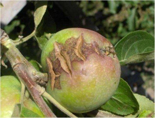 Трещины на яблоке