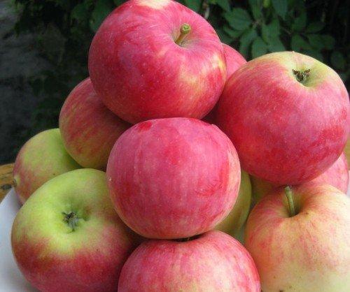 Урожай яблок Мантет