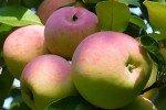 яблоки Ветеран