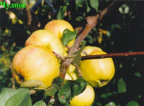 Ветка яблони с плодами сорта Чудное