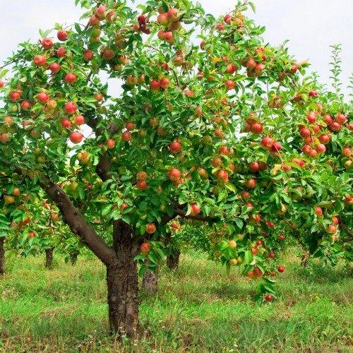 Яблоня стахеевское описание фото