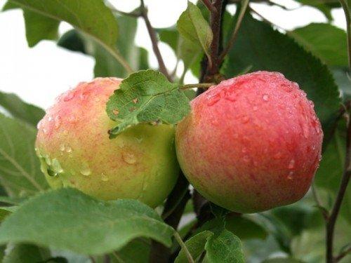 Наливные яблоки Мантет на дереве