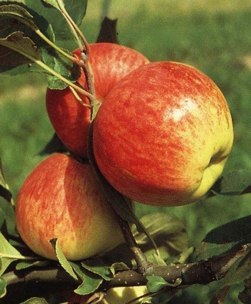 Яблоки Мантет на ветке