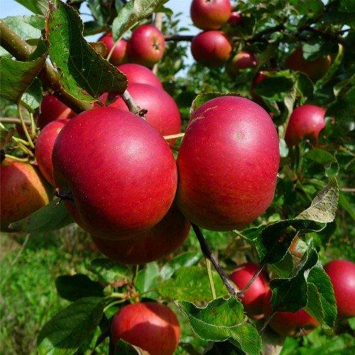 Яблоки Услада