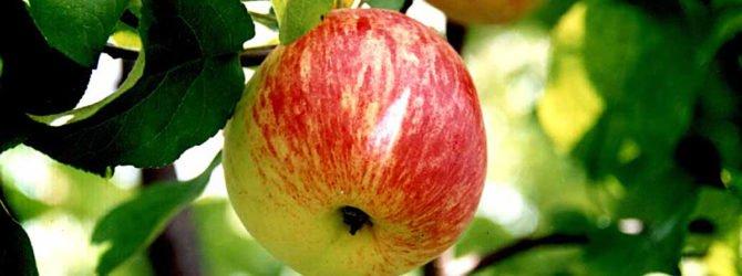 яблоко боровинка