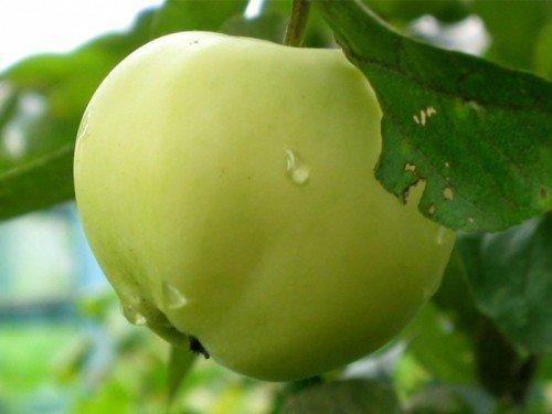 Плод яблони сорта Дочь Папировки
