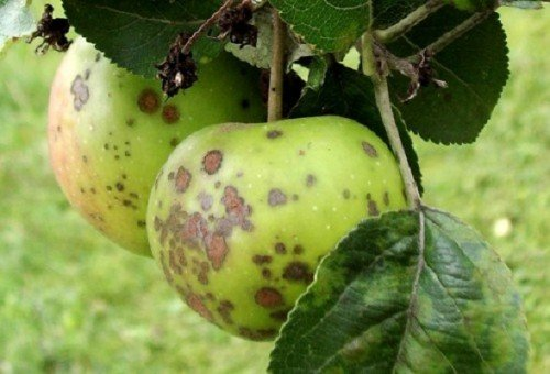 Яблоки, поражённые паршой