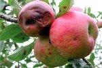 Яблоко пострадавшее от хлороза