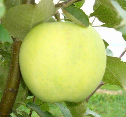 Спелое яблоко сорта Папировка