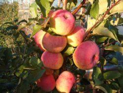 яблоко услада