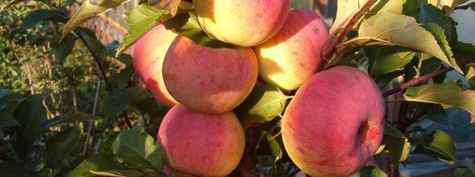 услада яблоня описание фото
