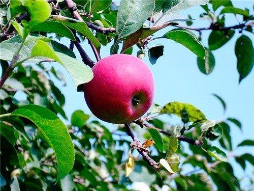 Яблоко висит на ветке дерева