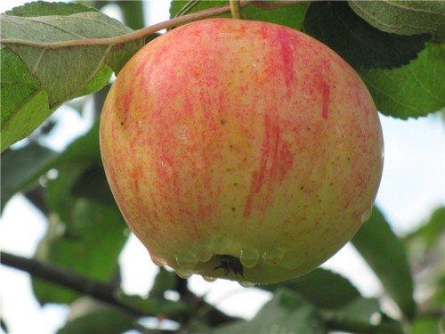 Плод яблони Орлинка