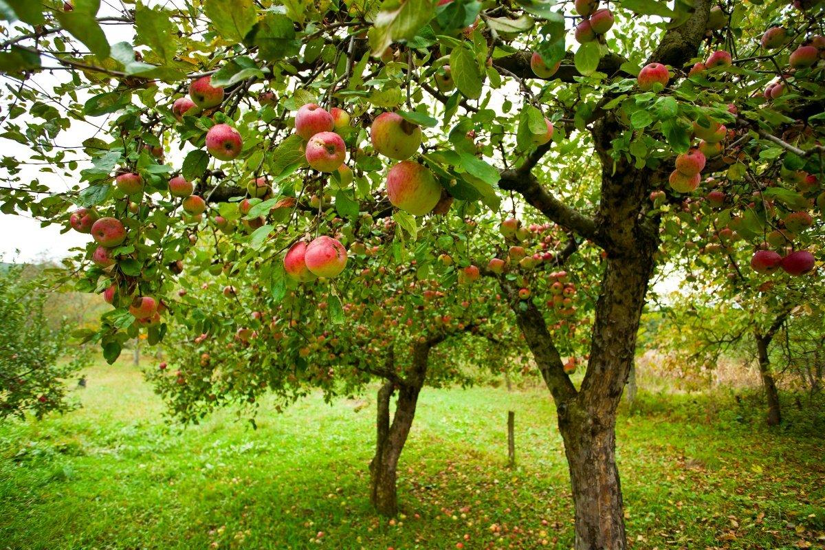 Совместимость плодовых деревьев с другими - «Ваш сад и дача 37