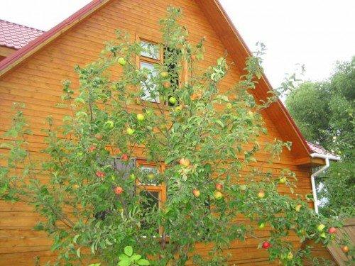 Яблоня сорт Коричное на дачном участке