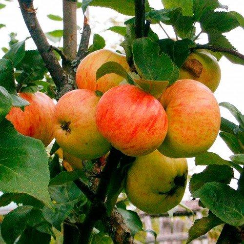Яблоня сорт Коричное новое