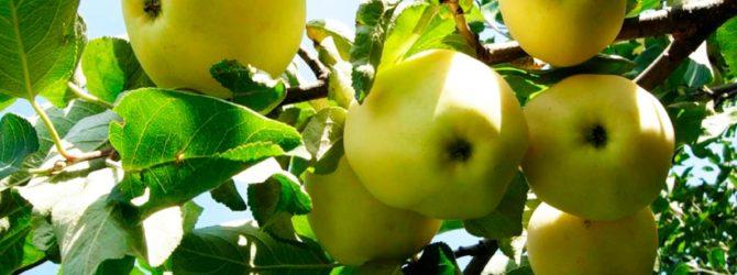 яблоня сорта папировка