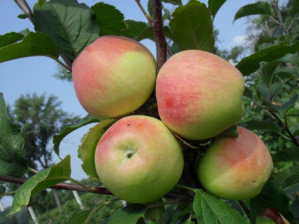 строевское яблоня описание фото
