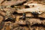 Жук-короед в древесине